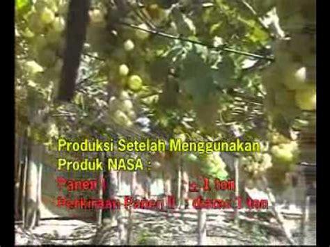 Bibit Belut Kudus budidaya anggur organik ala bpk nur kudus di sleman yogyakarta