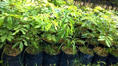 Bibit Kelengkeng Di Bali toko bibit tanaman tani sejahtera jual bibit kelengkeng