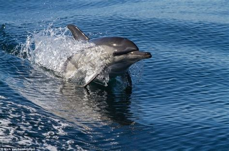 boat ride back to africa 40 dolphins cought on camera riding waves in south africa