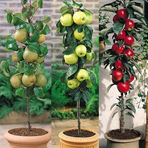 miniature fruit trees miniature patio fruit trees mirror garden