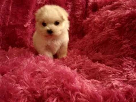 yorkies for sale in new york teacup maltese maltipoo morkie yorkie puppies for sale in los angeles ca new york