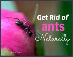 how to get rid of small ants in bathroom how to get rid of ants naturally house and carpenter ants