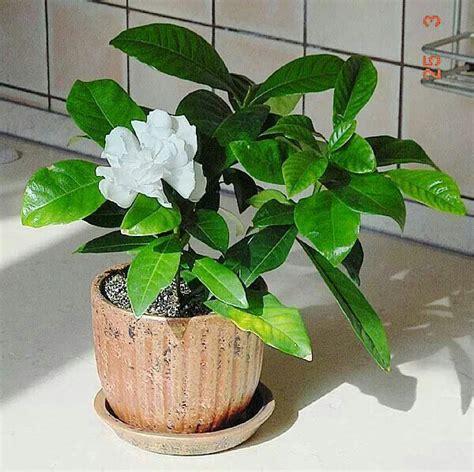 plants home decor 9 jpg gardinia jasmine flowers in a pot design flowers for