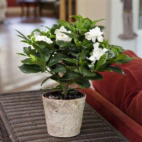gardenia in vaso la gardenia piante appartamento curare la gardenia