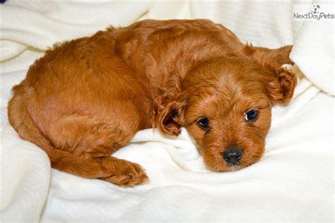 cavapoo puppies for sale in illinois cavapoo puppy for sale near southern illinois illinois c259ceb1 cf81