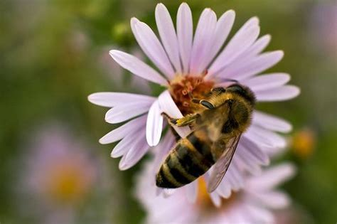 How Do Stingers Detox Last by Bee Calm Remedies For Bee Stings Prevention
