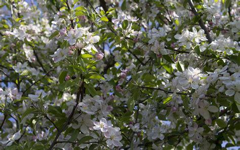blooming apple tree wallpaper flower wallpapers 42005