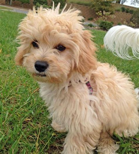 golden retriever bichon frise mix the bichon frise and cavalier king charles spaniel mix who let the dogs out