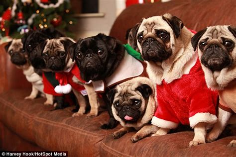 family of pugs lover spends 163 20 000 on 30 pet pugs per year daily mail