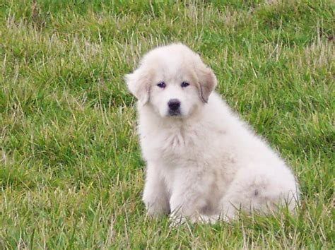 great pyrenees puppies colorado of the jungle great pyrenees puppies