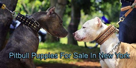 pitbull puppies for sale in ny pitbulls for sale in new york