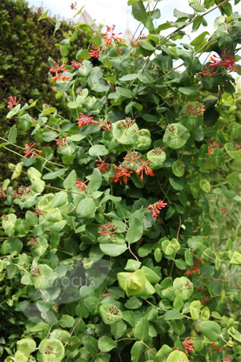 8 Beautiful Honeysuckle Items For The Home by Buy Scarlet Trumpet Honeysuckle Lonicera 215 Brownii