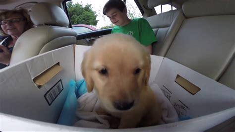 how much money is a golden retriever puppy getting a puppy golden retriever photo