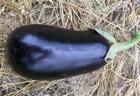 early black egg eggplant   southern exposure seed