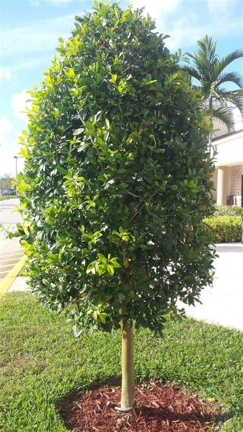 Flowering Shrubs Texas - dahoon holly tree ornamental trim style www universaldevgroup com plant photos client