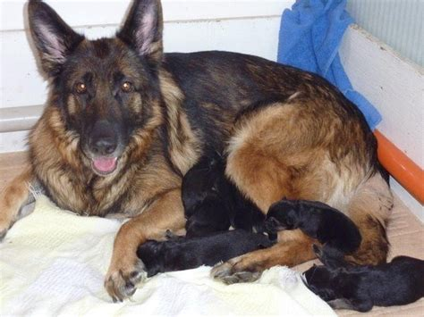 newborn german shepherd puppies how do newborn german shepherd puppies look like quora