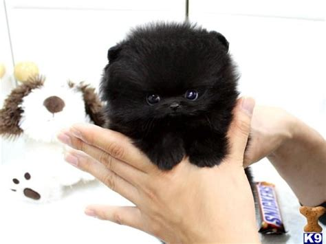 about teacup pomeranian black teacup pomeranian cutie pie teacup pomeranian black and pomeranians