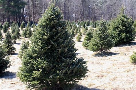 zema s nursery christmas trees