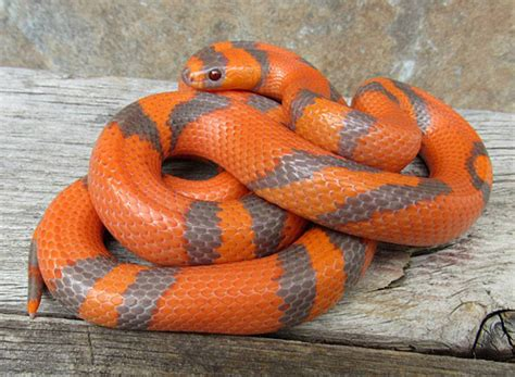 snake colors lovely milk snake colors the reptile report