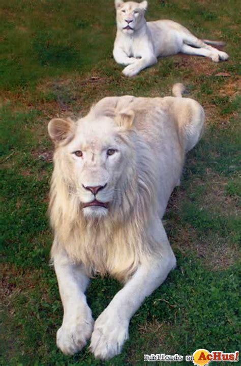 imagenes de leones raros animales mas raros o mas desconocidos taringa