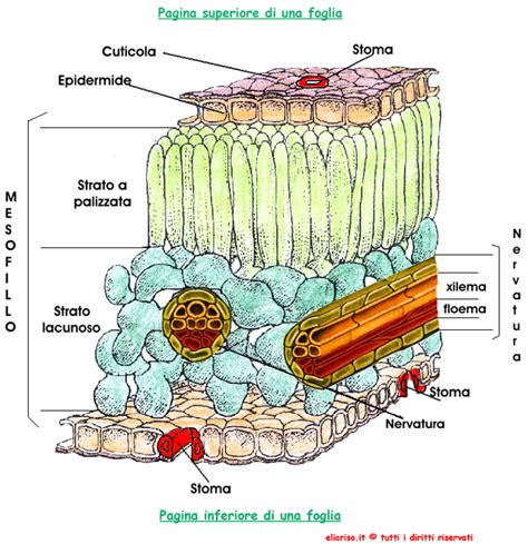 all interno epidermide delle piante