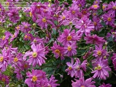anemone bressingham glow plantfiles pictures japanese windflower japanese anemone