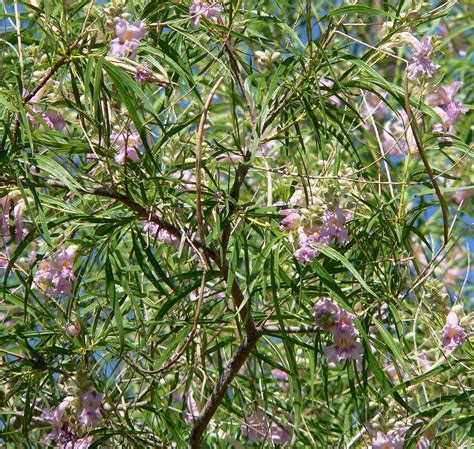 Caring Tree Caring Your Family by Caring For Desert Willows Learn How To Grow A Desert