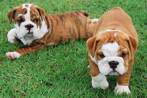 bulldog puppies alabama bulldog puppy breeder alabama bullies past puppies