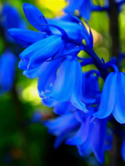 blue bell japanese meaning gratitude blue pinterest flower meanings japanese flowers