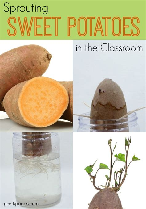 Container Gardening Potatoes - science for kids sprouting sweet potatoes