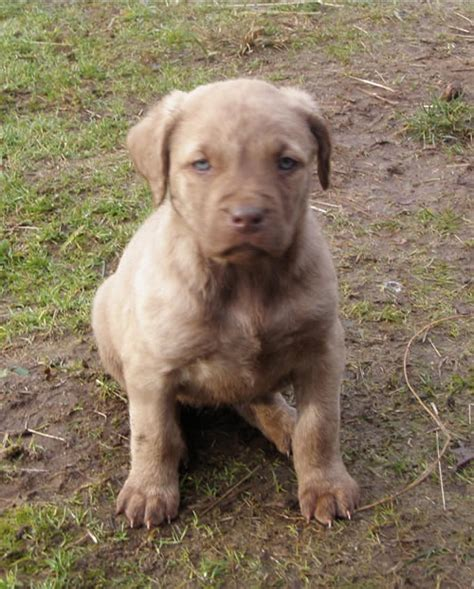 akc chesapeake bay retriever puppies for sale chesapeake bay retriever puppies chesapeake bay retriever puppies 17 breeds picture
