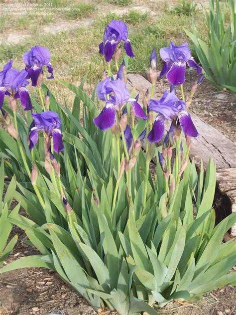 trees planet iris germanica german iris bearded iris