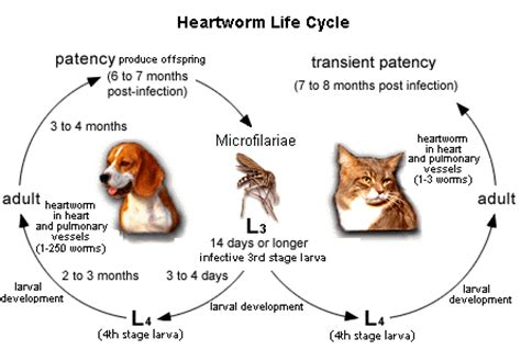 heartworm disease in dogs canine heartworm wuvcd