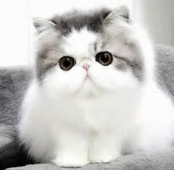 Cute cat breeds persian cat easyday