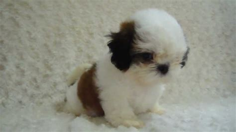 black brown and white brown and white shih tzu puppies www pixshark images galleries with a bite