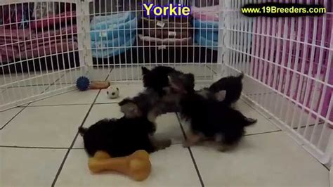 yorkie puppies for sale in greensboro nc terrier yorkie puppies dogs for sale in carolina nc