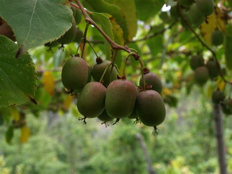 kiwi fruit trees hardy kiwi grouse mt farm s