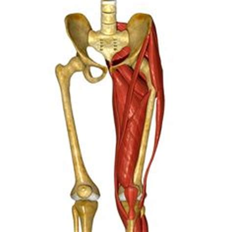 pulled groin diagram posture exercises anatomy and on