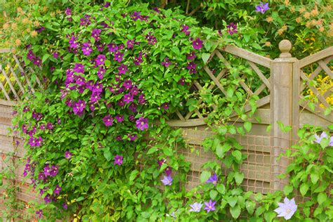the best climbing plants for your garden fence or wall - Plants That Climb Fences
