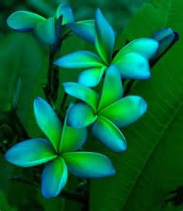 plumeria colors blue green plumeria beautiful