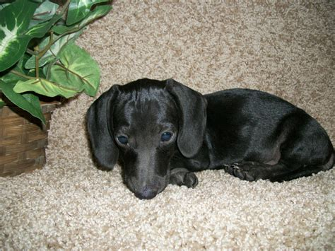 weiner puppy miniature dachshund facts info temperament puppies pictures