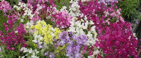 Bibit Benih Seeds Snapdragon Mix Bouquet Flower toad flax baby snapdragon linaria maroccana bouquet mix