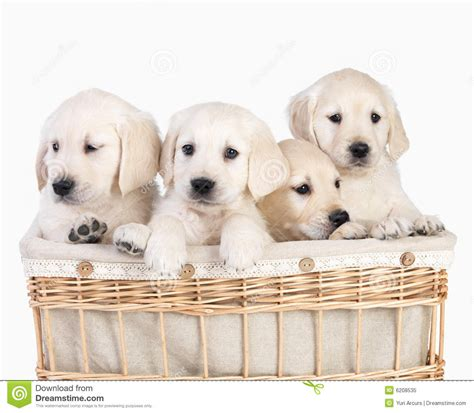 cute puppies  basket isolated stock image image