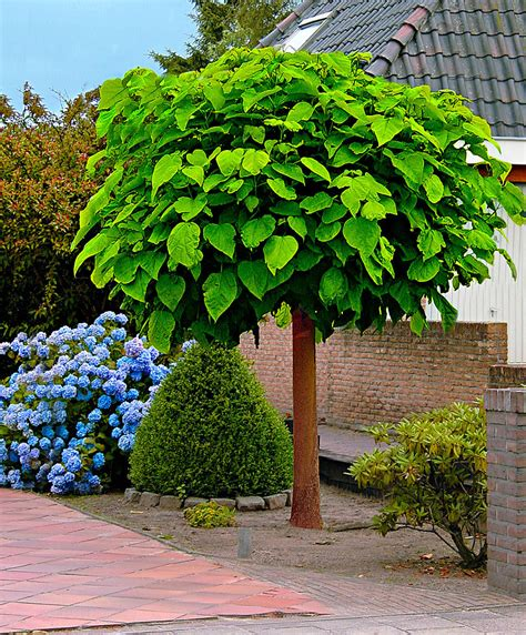 where to buy a tree buy catalpa bakker