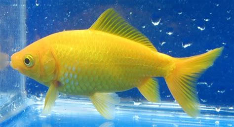 Yellow goldfish from rain garden age of aquariums pinterest