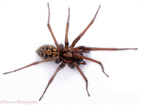 white house spider house spider photo wp01476