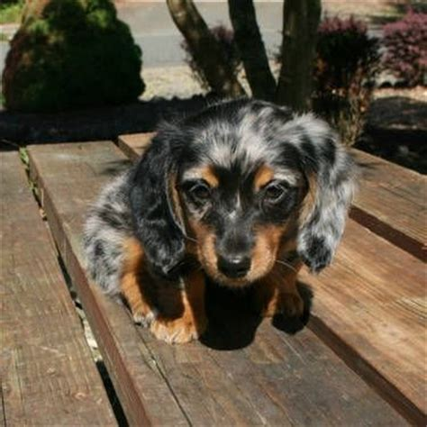 dapple dachshund puppies for sale best 25 dapple dachshund ideas on dapple dachshund puppy dapple