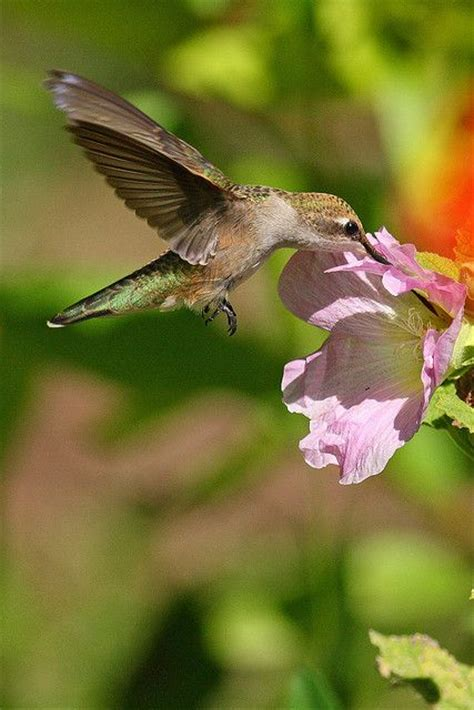 1000 images about hummingbirds parenting nests the
