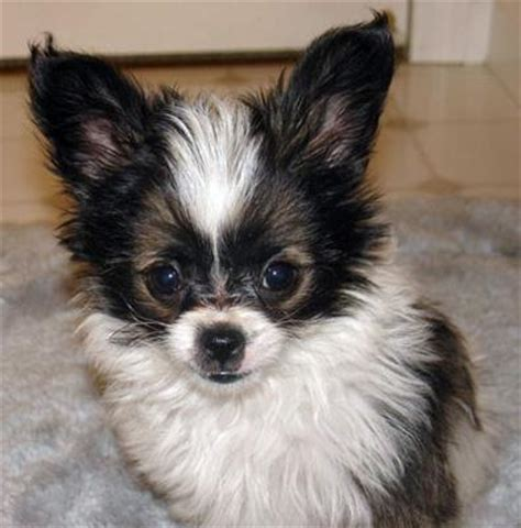 yorkie papillon yorkillon papillon yorkie mix info temperament puppies and pictures