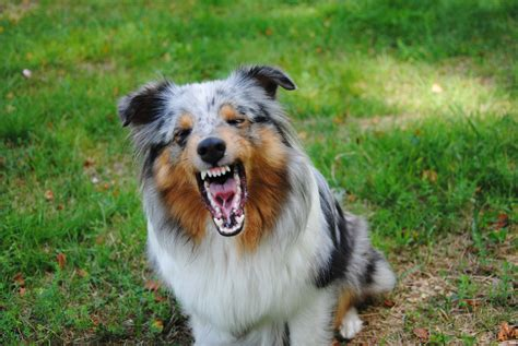 sheltie dogs the angry breed sheltie wallpapers and images wallpapers pictures photos